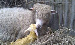 new born cotswold sheep