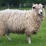 Ewe in Field