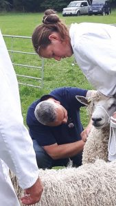 inspection cotswold sheep