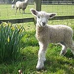 Lamb and Daffodils