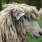 Shearling Ewe