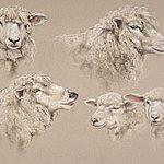 Sheep Studies(P)